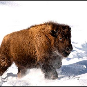 Bison Fun