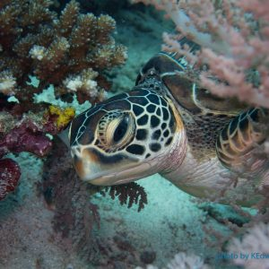 Hawksbill Turtle - Philippines