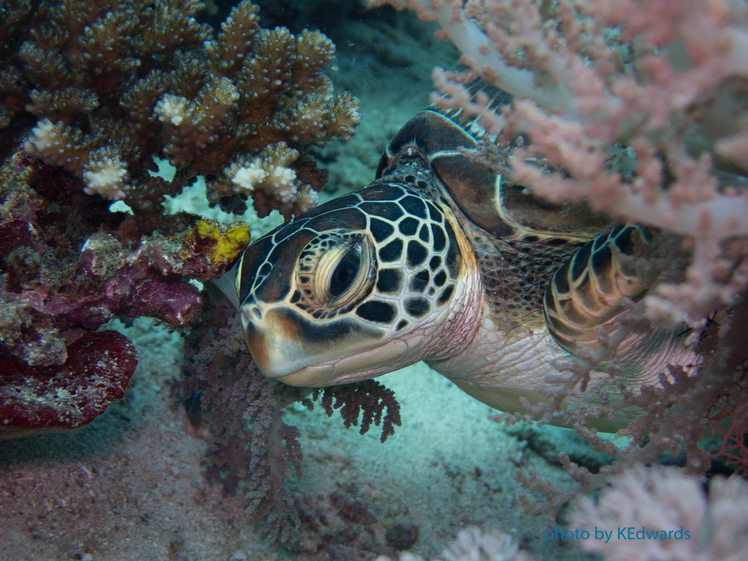 Hawksbill Turtle - photo taken in Apo Island, Philippines