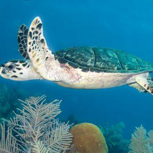 Hawksbill Turtle - Roatan