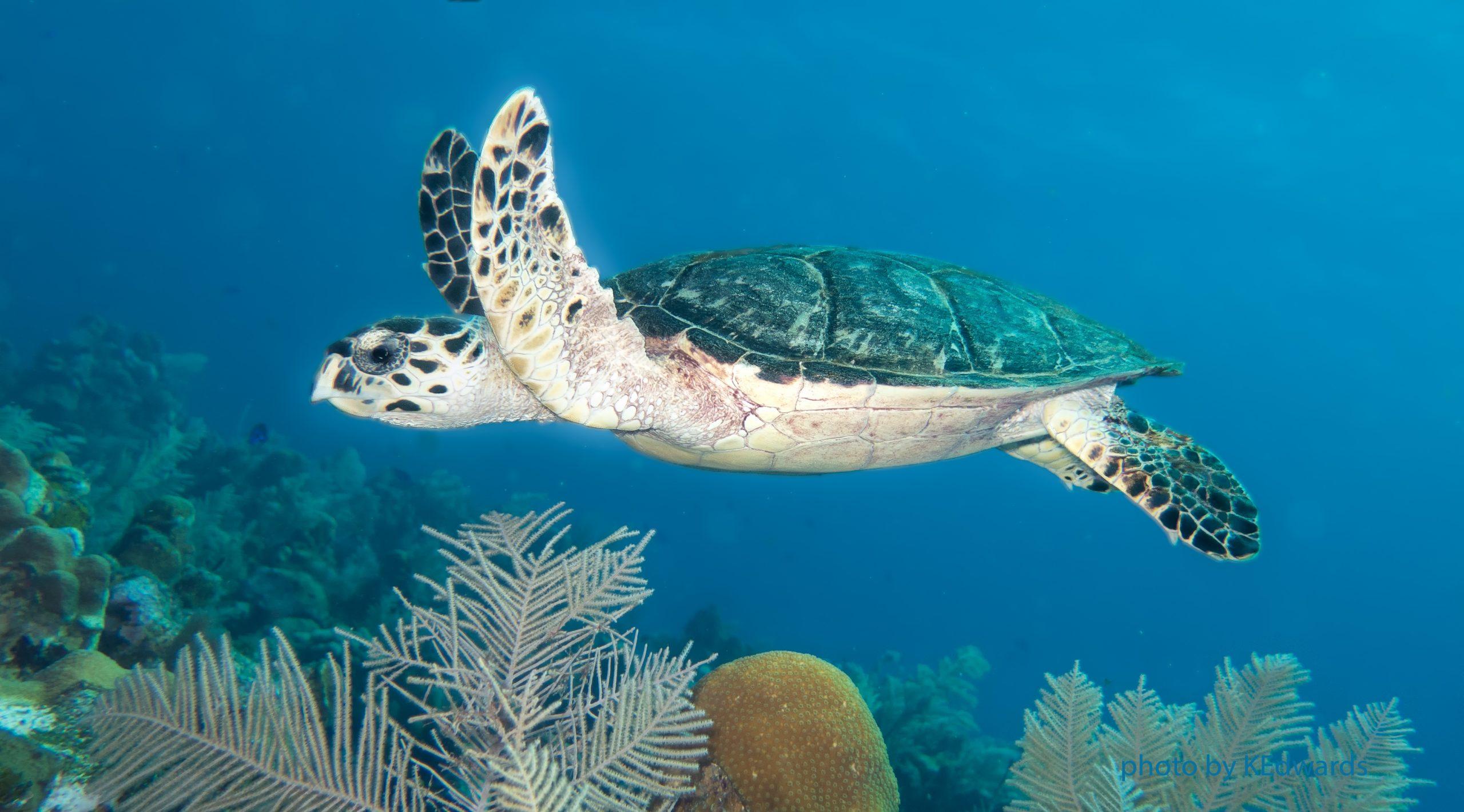 Hawksbill Turtle - photo taken in Roatan, Honduras