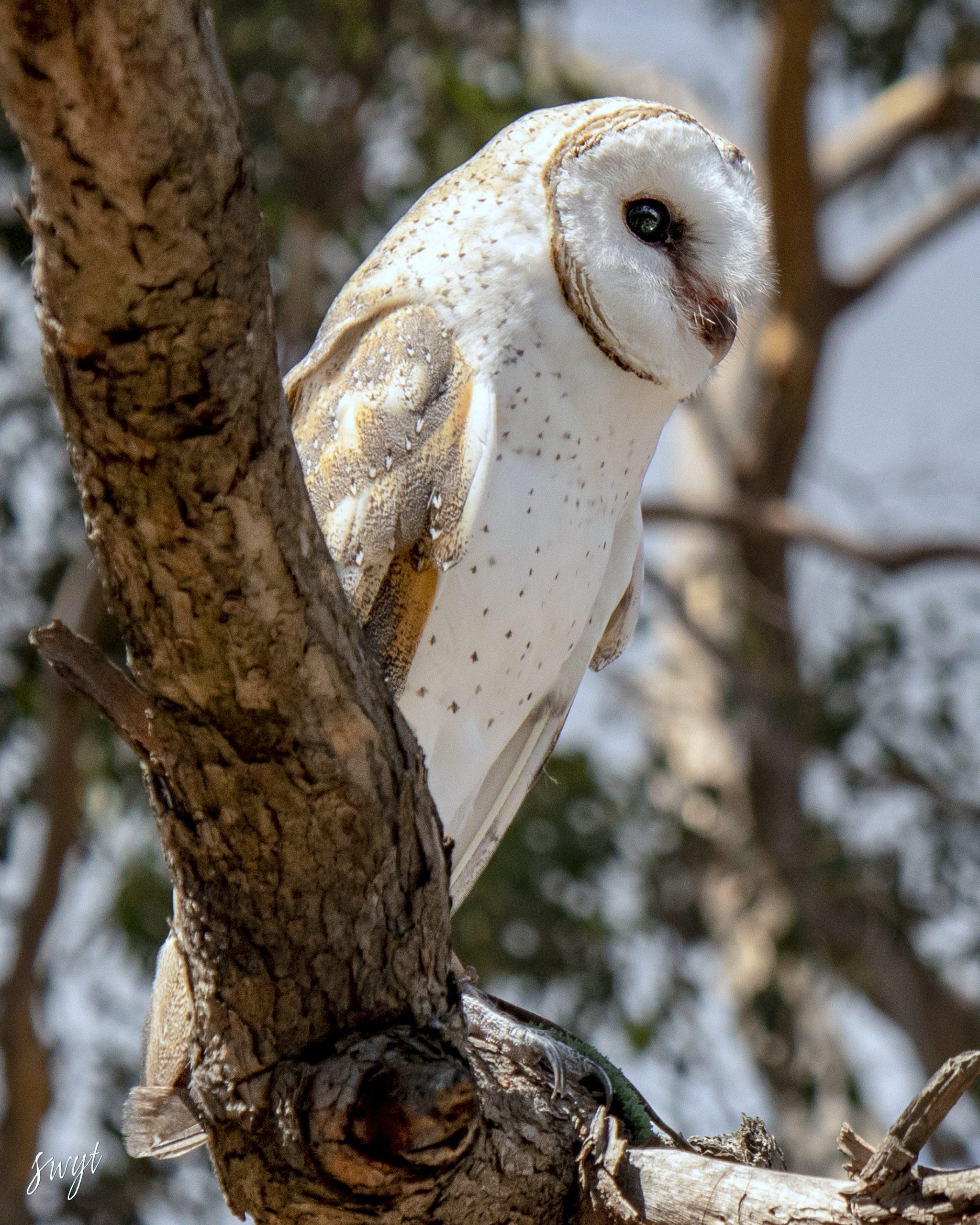 Snowy Barn Owl, Western Australia
