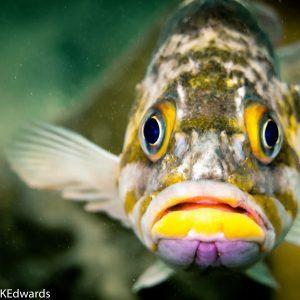 Copper Rockfish, photo taken in Hood Canal, Washington